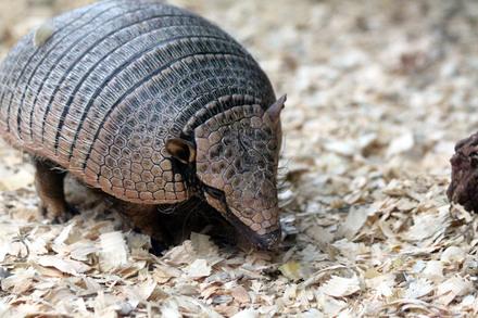 5分でわかるアルマジロ!丸くなるのは一部だけ⁉意外な生態や飼育法を紹介!画像