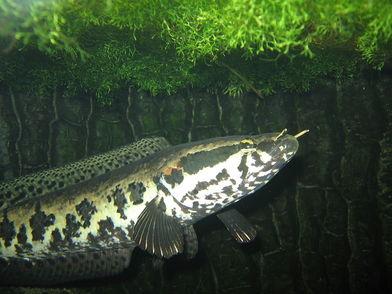 5分でわかる雷魚の生態!外来種?名前の由来、飼育法、味などを紹介!画像