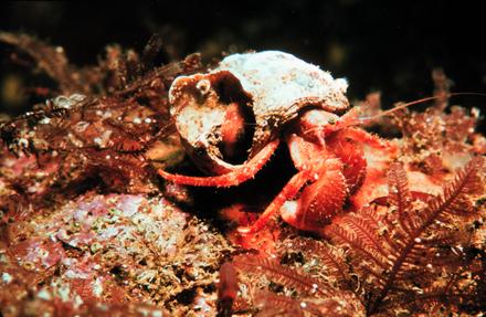 5分でわかるヤドカリの生態!引っ越しの秘密、ペットで飼える種類などを紹介画像