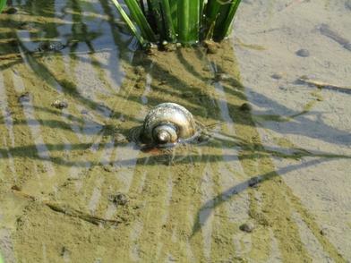 5分でわかるタニシの生態!飼育方法や繁殖の不思議もわかりやすく解説!画像