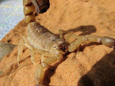 5分でわかるサソリ!最大のものや猛毒の種類、小食の秘密などを紹介画像
