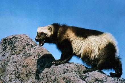 最強すぎるクズリの生態!クマやラーテルと戦ったら?天敵や性格なども解説画像