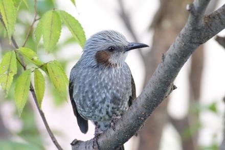 5分でわかるヒヨドリの生態!渡り鳥?留鳥?巣作りや雛の子育てなど画像