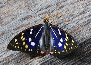 5分でわかるオオムラサキの生態!準絶滅危惧種に指定されている日本の国蝶!画像
