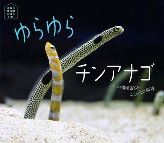 珍しすぎるチンアナゴの生態は?種類ごとの全長や、名前の由来も解説!画像