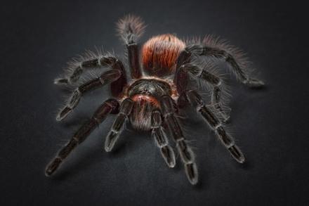 5分でわかるタランチュラの生態!種類や毒性、飼育方法などを解説!画像