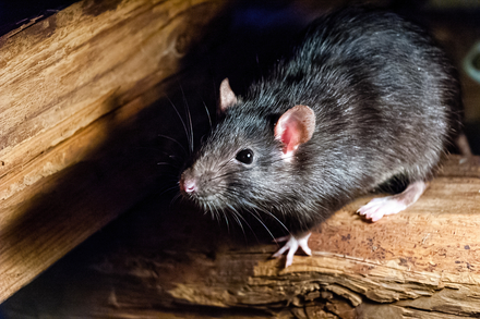【ネズミマニアが教える】ネズミの種類や生態!かわいすぎる写真集や害獣対策を解説画像