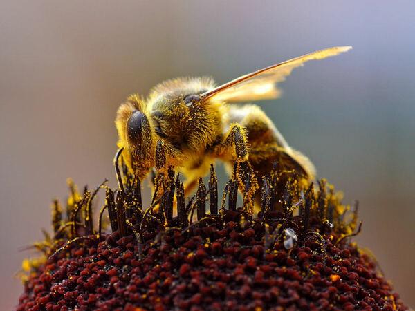 5分でわかるミツバチの生態!ダンスで意思疎通?種類や特徴、針などを解説!