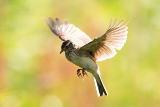 5分でわかるヒバリの生態!高鳴きや巣作り、季節などを解説