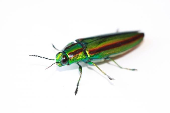 5分でわかるタマムシの生態!種類ごとの特徴や、採集・飼育方法を解説
