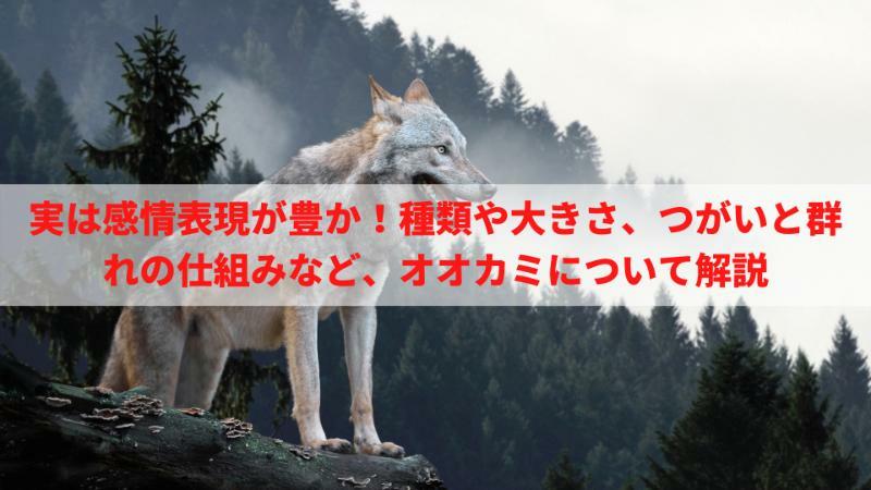 5分でわかるオオカミの生態!種類や大きさ、つがいと群れの仕組みなどを解説
