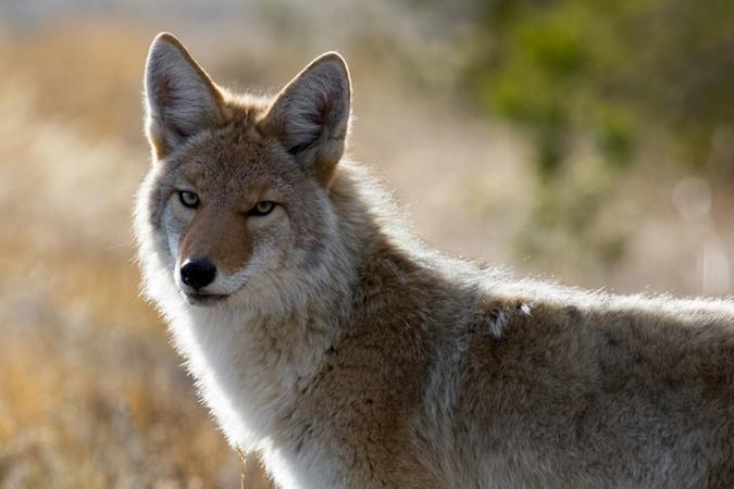 5分でわかるコヨーテの生態!実はオオカミと同一種?性格や名前の由来も解説