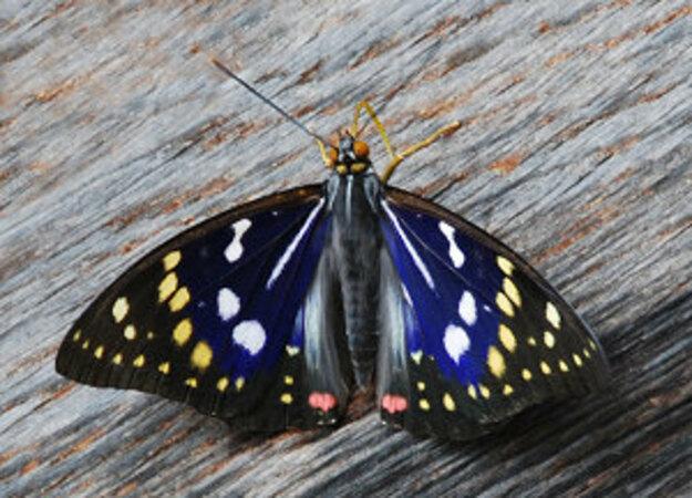 5分でわかるオオムラサキの生態!準絶滅危惧種に指定されている日本の国蝶!