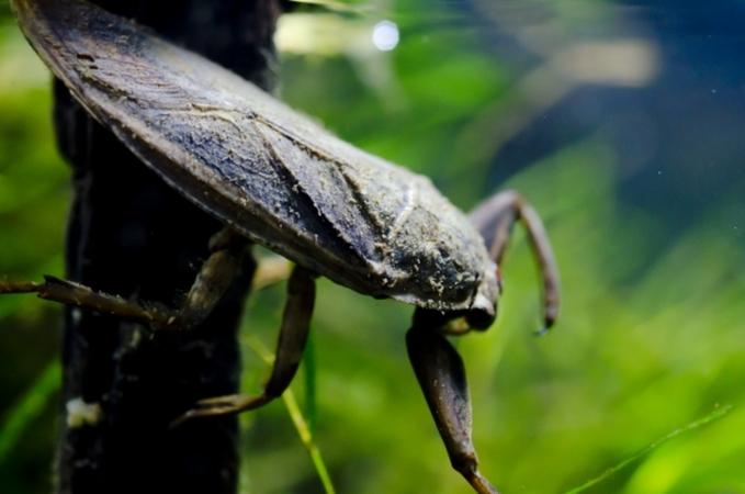 最強すぎるタガメの生態!毒性、飼育方法、料理の味など生態を解説!