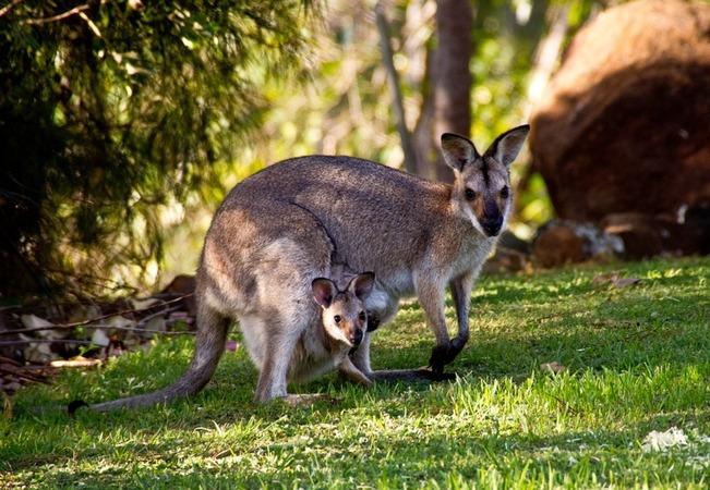5分でわかるワラビー!生態や性格、カンガルーとの違い、飼育法などを解説!
